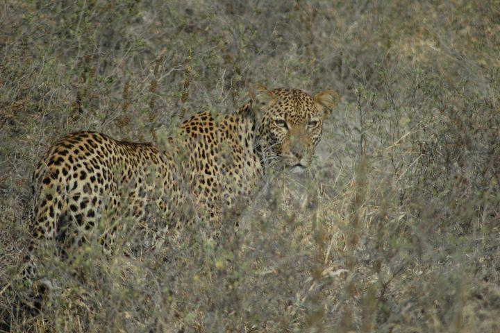 Selous Game Reserve Leopard