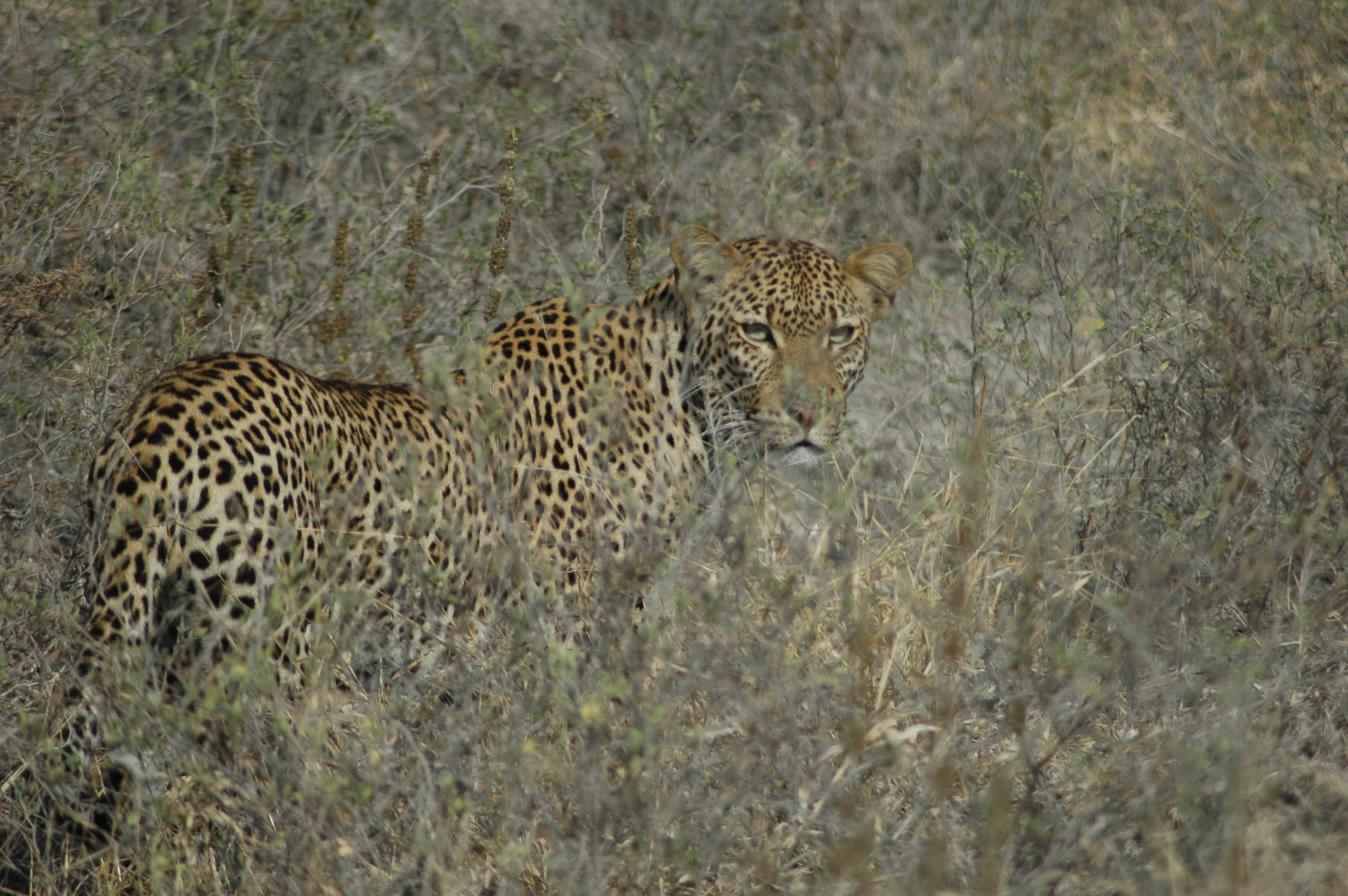 Selous Game Reserve Leopard