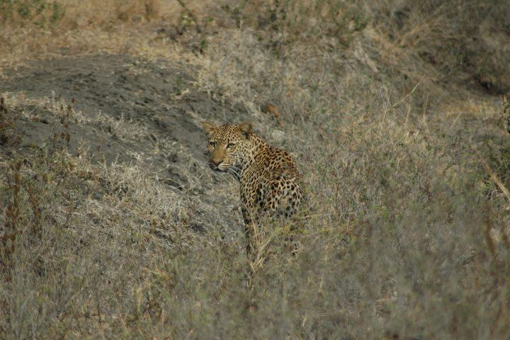 Selous leopard turning