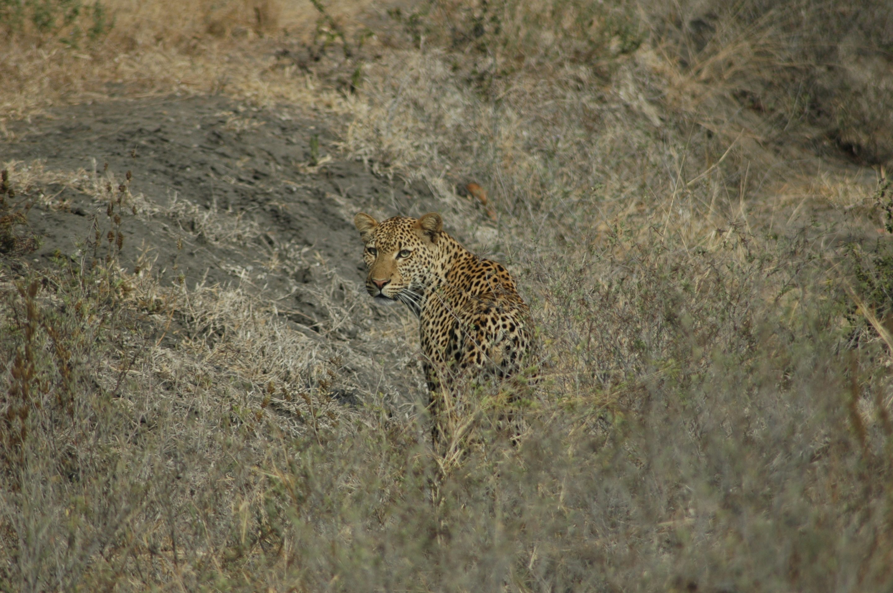Selous leopard turning