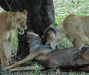 Selous Lions with kill