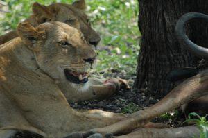 Selous Lionesses