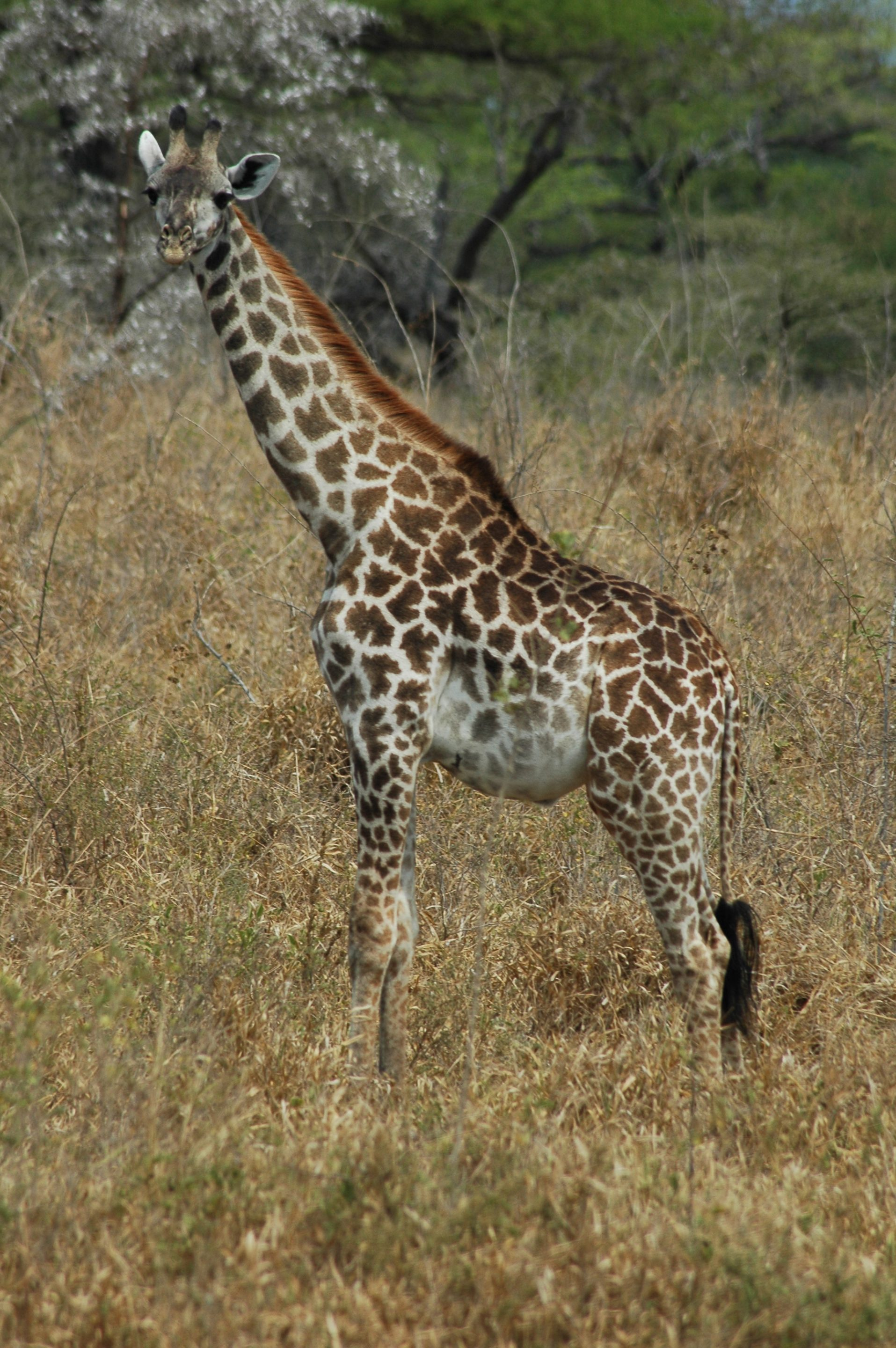 Giraffe in Selous