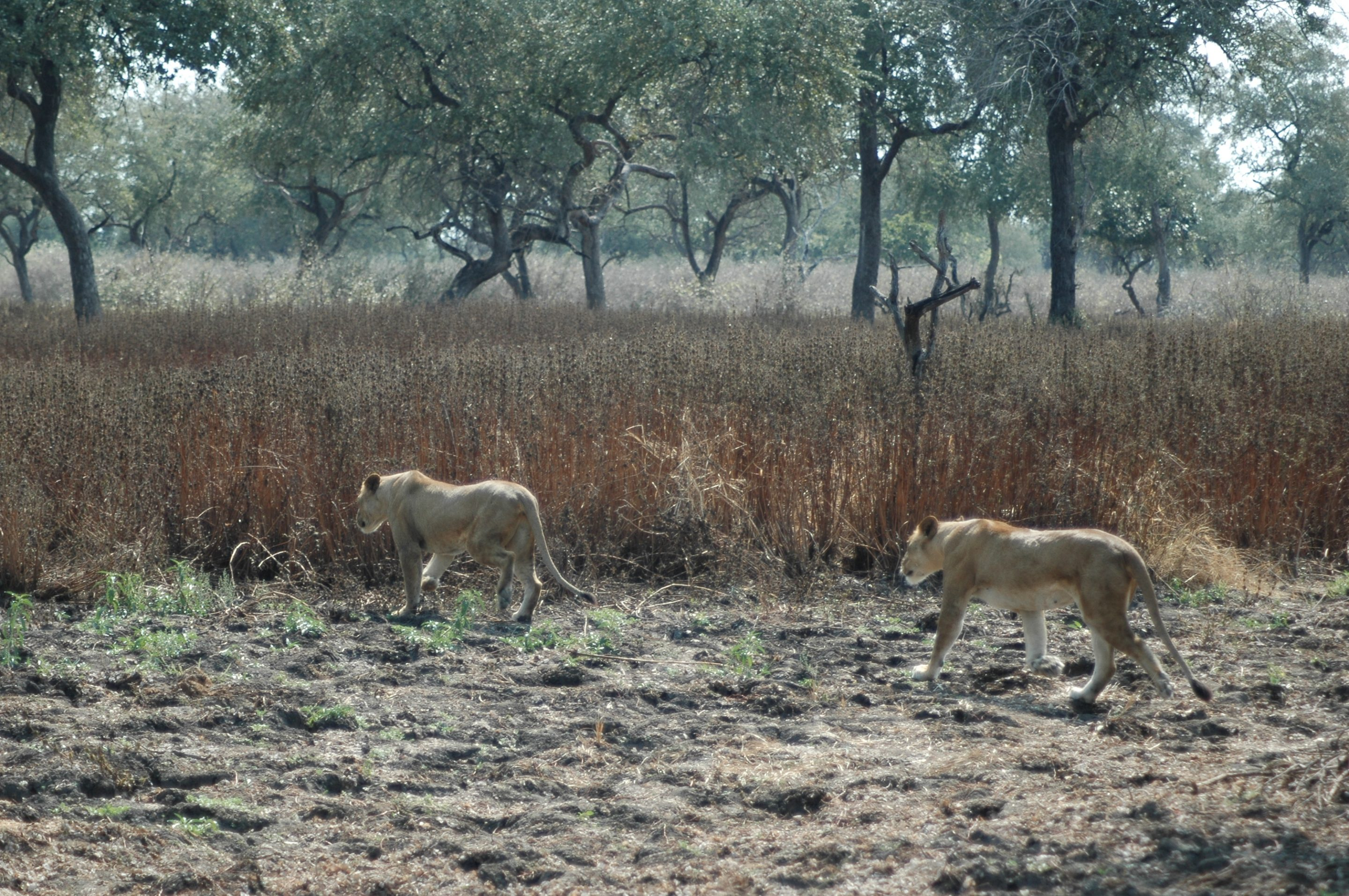 Lionesses hunting in Selous