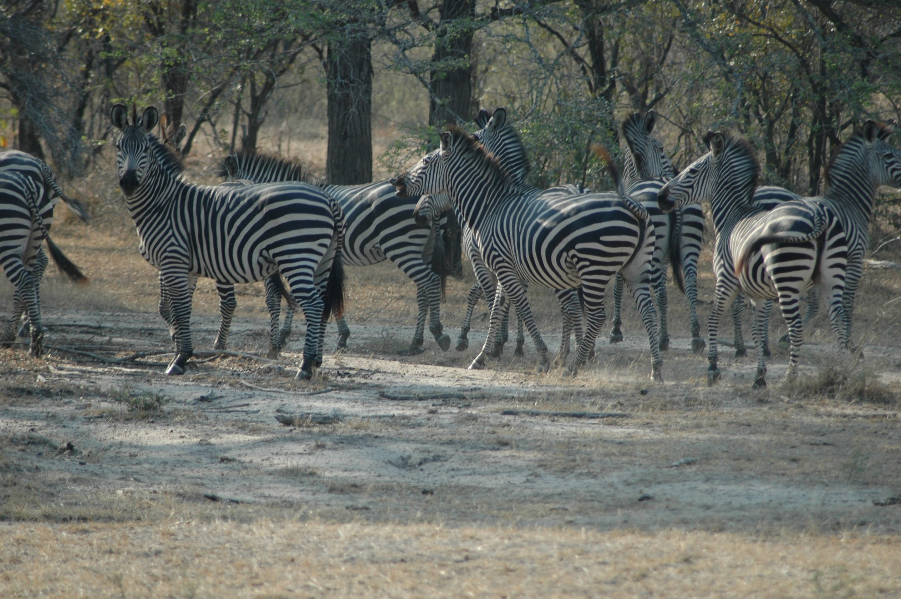 A dazzle of Zebra in Selous