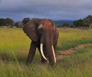 Mikumi Bull Elephant
