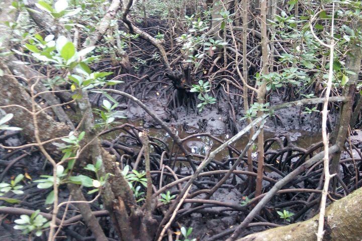 Zanzibar Mangrove