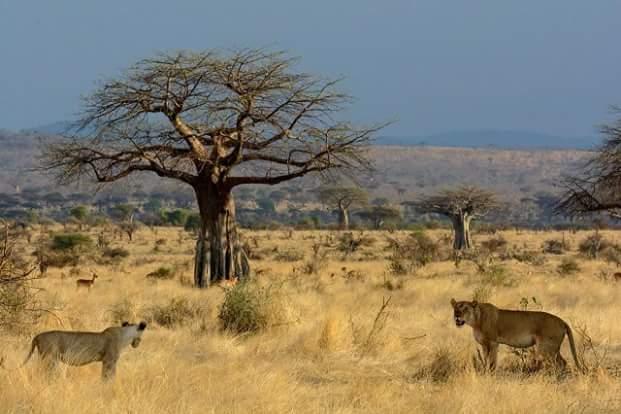 Lions in Tarangire