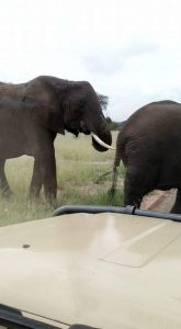 Elephant close encounters in Tarangire
