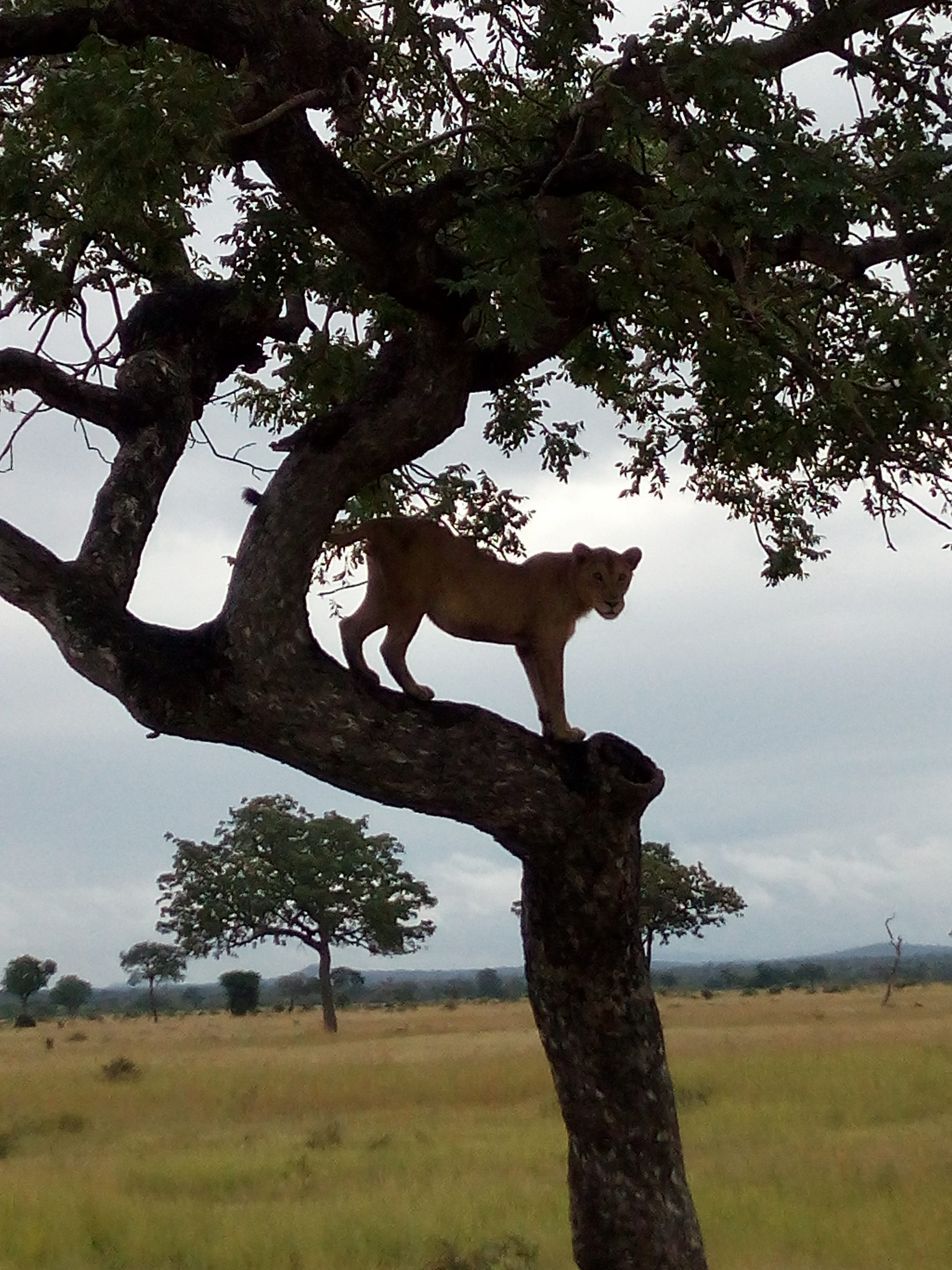 Lioness on tree in Mikumi